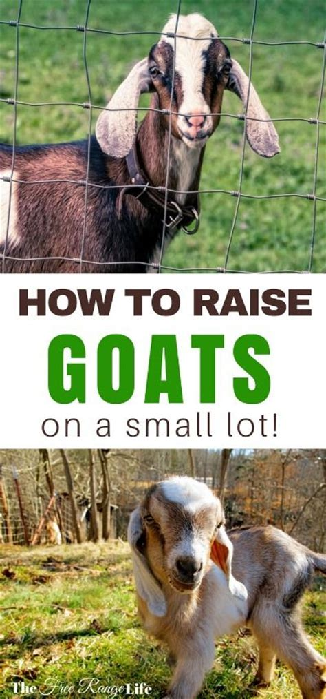 how to raise goats in your backyard 25 best ideas about pygmy goats on pinterest miniature