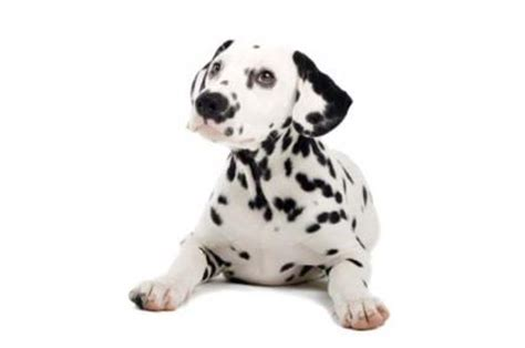 dalmatian puppy names disney puppy names lovetoknow