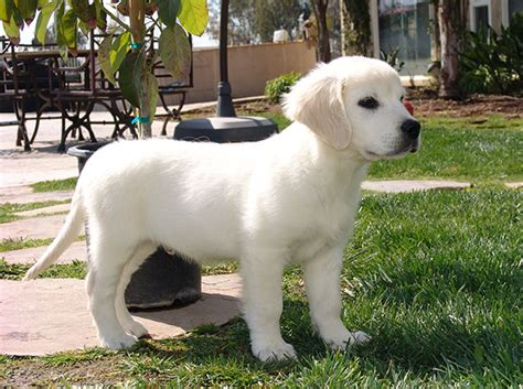 golden retriever white puppies golden retriever breed