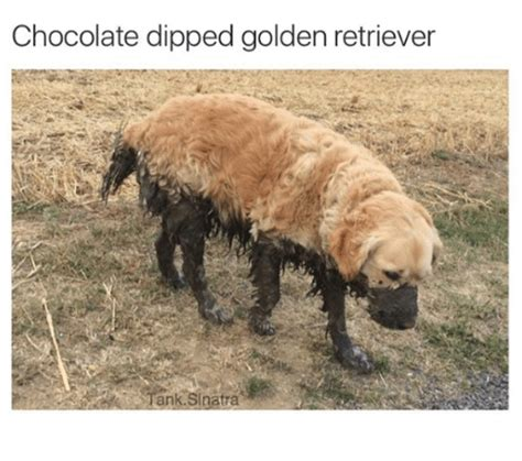 chocolate golden retriever golden retriever memes of 2017 on sizzle uppers