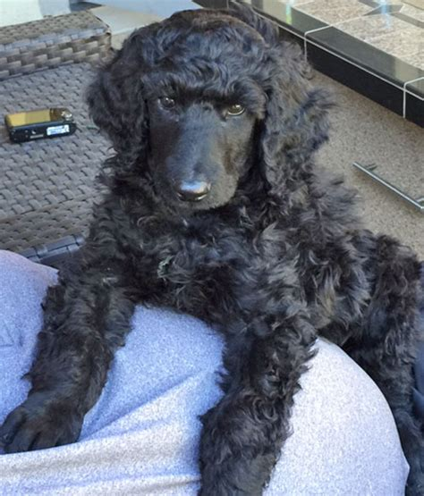 puppy for sale in nj standard poodle puppies for sale nj dogs in our photo