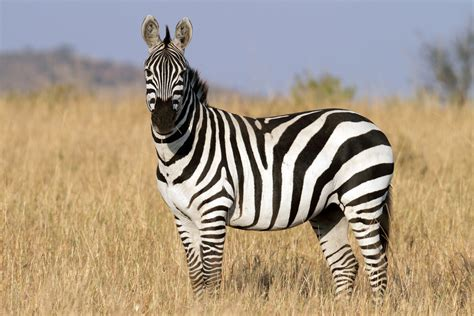 black zebra black and white zebra colors photo 34704921 fanpop