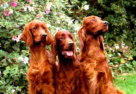 irish setter dog movie top 10 dog breeds for young families