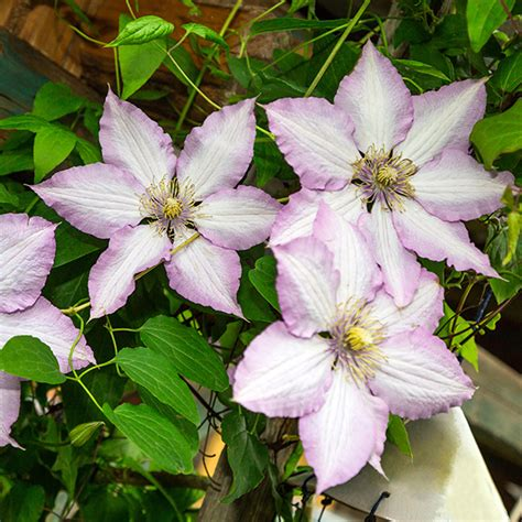 Patio Clematis by Raymond Evison Boulevard Patio Clematis Collection 3 X