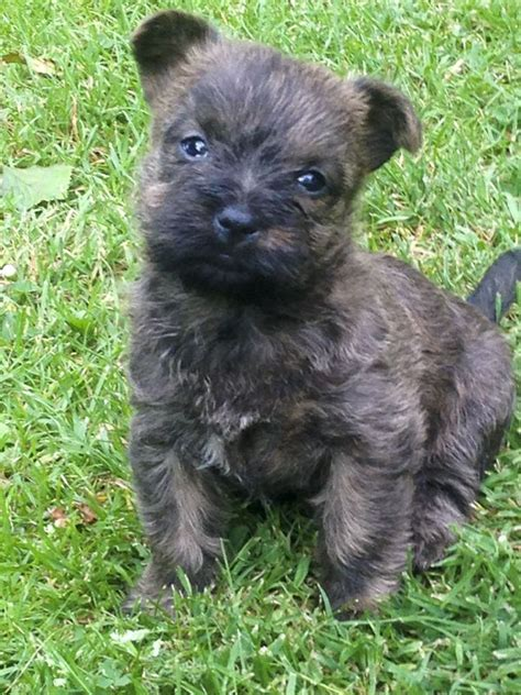 cairn terrier puppies for sale cairn terrier puppies grantham lincolnshire pets4homes