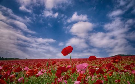 Wall Paper Wall Sticker Photo Wall Poppy 8 257 poppy hd wallpaper and background image 1920x1200 id 425310