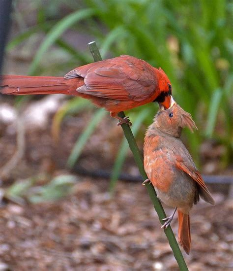 25 best ideas about baby cardinals on pinterest red