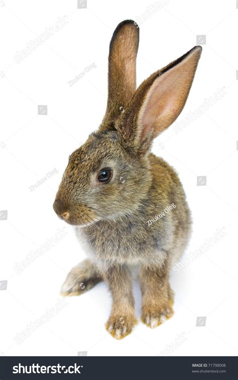 white rabbit new year happy new year rabbit isolated on stock photo 71798008