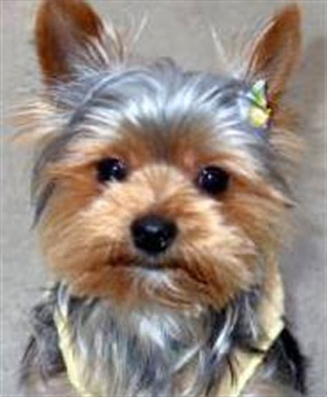 liver problems in yorkies yorkie health problems