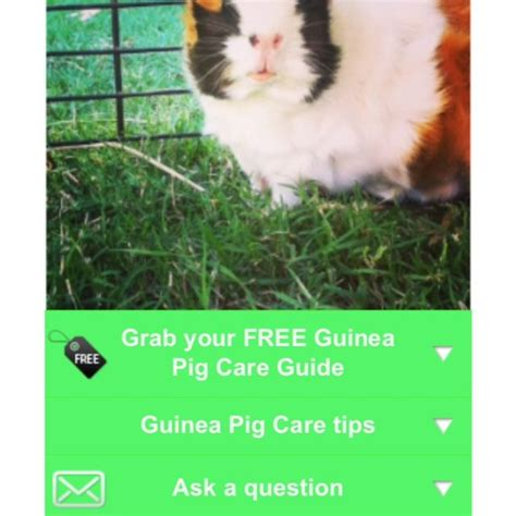 7 Tips On Caring For Pigs by 60 Best Guinea Pigs Images On Guinea Pigs