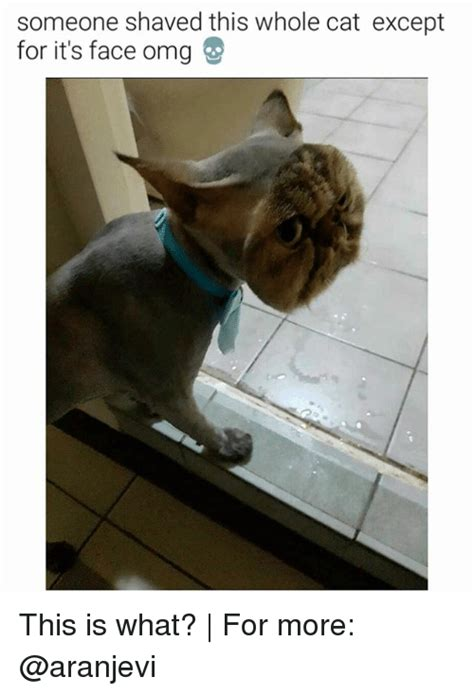 Shaved Cat Meme - someone shaved this whole cat except for it s face omg