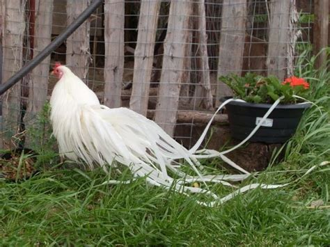61 Best Images About Phoenix Chickens On Pinterest Backyard Chickens For Sale