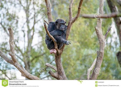 why do monkeys swing on trees chimpansee in een boom stock afbeelding afbeelding