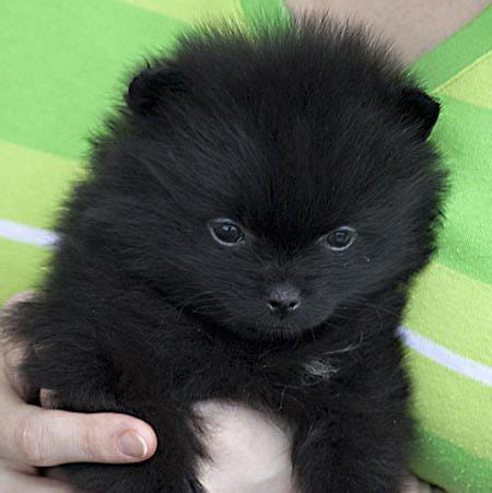 black pomeranian puppies for sale black pomeranian puppies