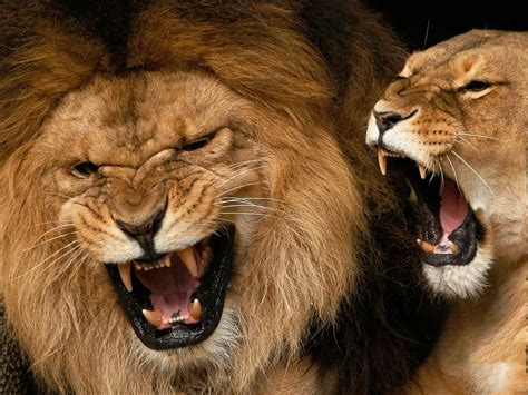 imágenes de leones juntos imagenes de leones imagen pareja de leones rujiendo