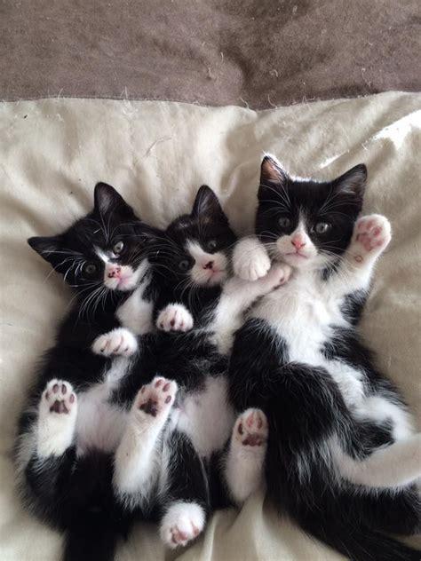 tuxedo cat names perfect choice cute cats cute cats kittens beautiful cats