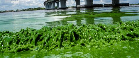 are water toxic toxic algae blooms infesting florida beaches are putting a