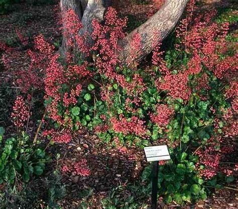 San Marcos Growers Gt Rancho Santa Ana Botanic Garden Heuchera Rancho Santa Botanical Gardens