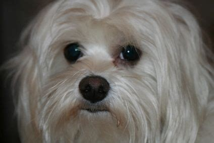 how to get rid of tear stains on dogs how to get rid of eye tear stains