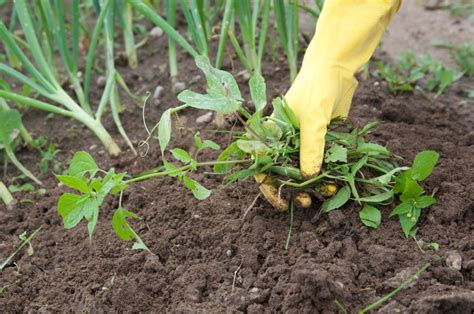 garden weeds 8 most effective ways to get rid of them for