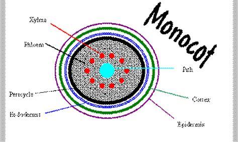 monocot root diagram structure of flowering plants