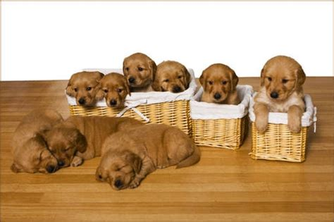 mastiff puppies for sale mn golden retriever puppies for sale mn photo