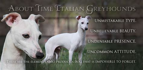 italian greyhound puppies ohio italian greyhound for sale in ohio breeds picture