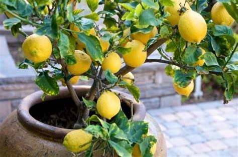 limoni in vaso concimazione concimeazione limoni concime
