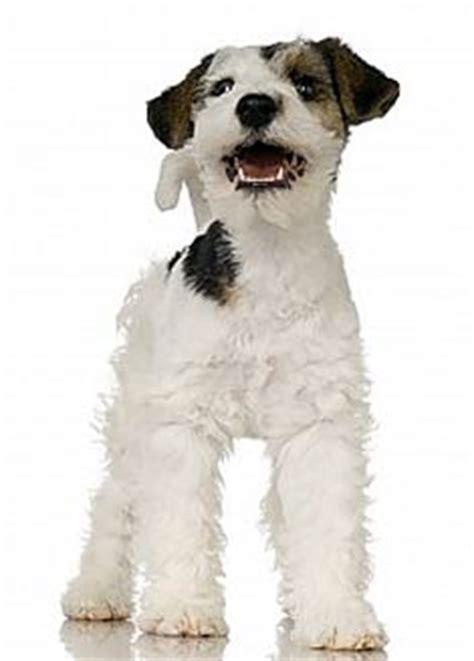 corgi puppies for sale houston fox terrier puppies for sale houston
