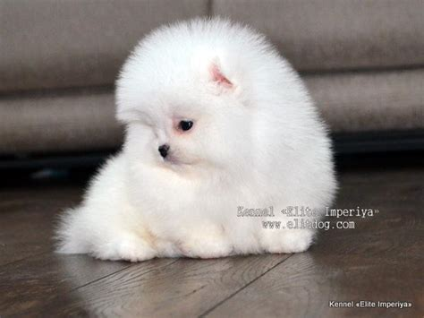 nose pomeranian for sale pomeranian puppies for sale photo