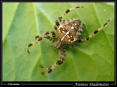 Garden Spider Family Name Treknature Araneus Diadematus Photo
