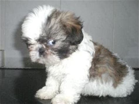 shih tzu blood in stool the colour technician bichon frise x shih tzu breeds picture