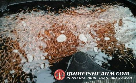 Bibit Ikan Nila Di Jogja budi fish farm grosir bibit ikan air tawar jogja budi