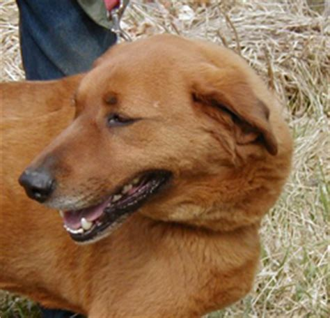 golden retriever rescue league massachusetts save a inc an all volunteer rescue organization located in massachusetts