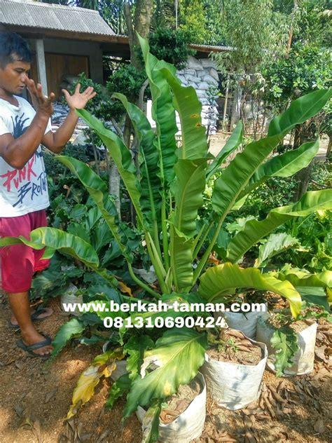 jual pohon philo pisang harga pohon philo pisang jual