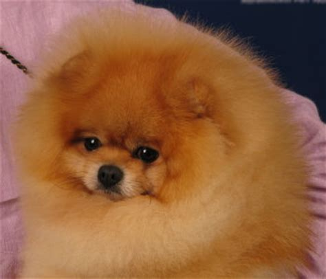 pomeranian teddy are there different types of pomeranians pomeranian information and facts