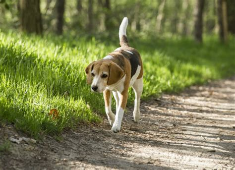 ataxia in dogs loss of balance unbalanced gait in dogs petmd