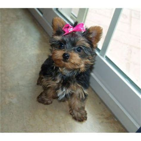 yorkies for adoption in ndri antiques affectionate teacup yorkiesdublindogs salepuppies sale