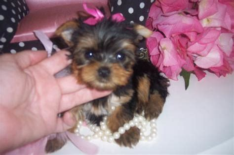 caring for yorkies how to care for teacup yorkie puppies teacup puppy care teacup yorkie feeding