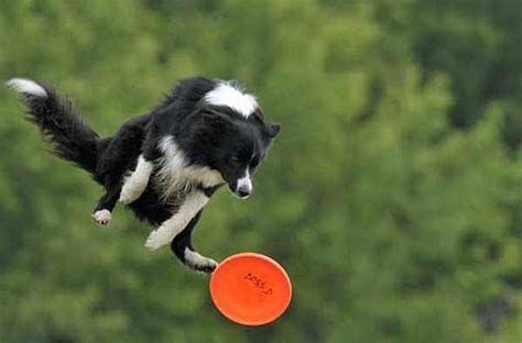 catching frisbee a picture of a border collie jumping to catch a frisbee 171 171 muse