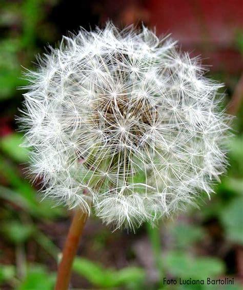 dente di fiore fiore dente di fare di una mosca