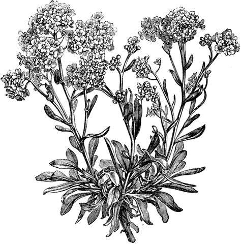 Drawing Spring alyssum saxatile flowers clipart etc