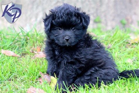 pomapoo puppy pomapoo puppies for sale in pa health guaranteed keystone puppies