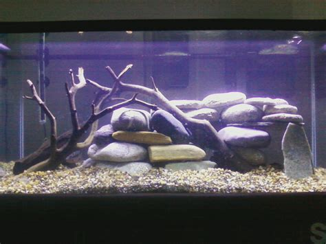 aquascape and new fish in the cichlid tank cichlids new 40 gallon firemouth geo tank unknown