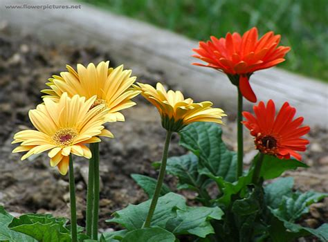 picture of tropical flower gerbera daisy