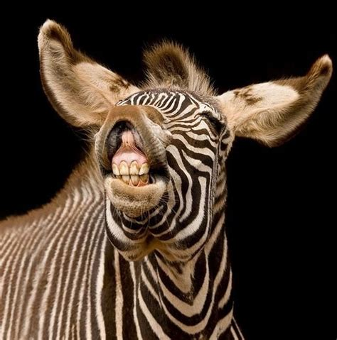 Zebra Waka 31 best images about zebra on three rings