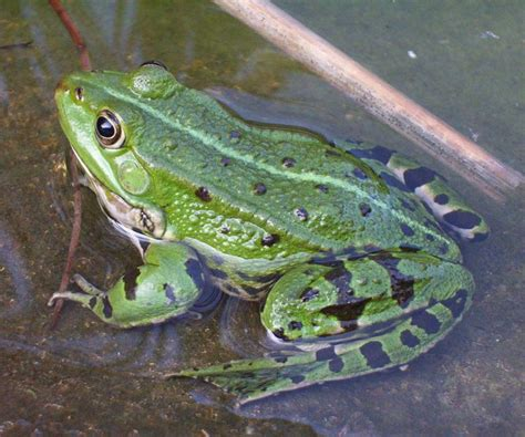 Edible Frog | Animal Wildlife