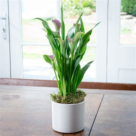 how to care for an indoor calla lily plant