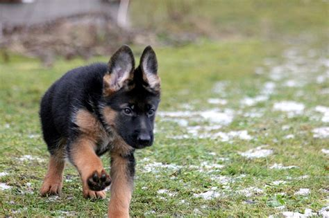 what to buy for a puppy what to look for when buying a german shepherd puppy ethical step by step guide