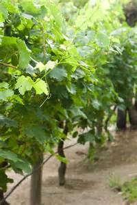 25 best ideas about grape vine plant on pinterest grape